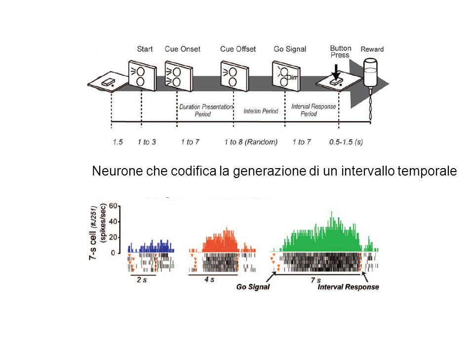 Neurone che codifica la generazione di un intervallo temporale