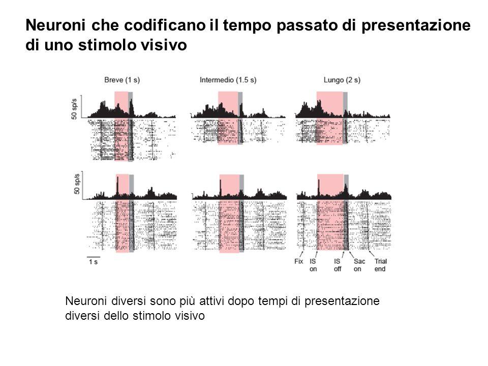 Neuroni che codificano il tempo passato di presentazione di uno stimolo visivo Neuroni diversi sono più attivi dopo tempi di presentazione diversi del