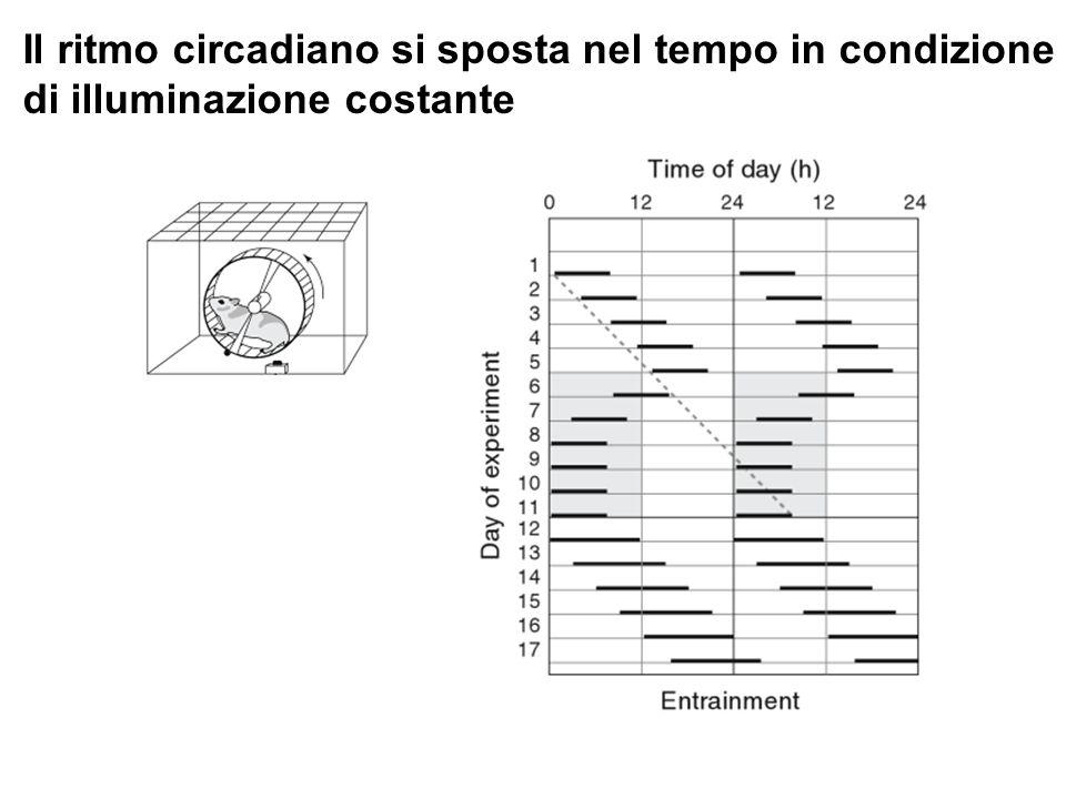 Il ritmo circadiano si sposta nel tempo in condizione di illuminazione costante