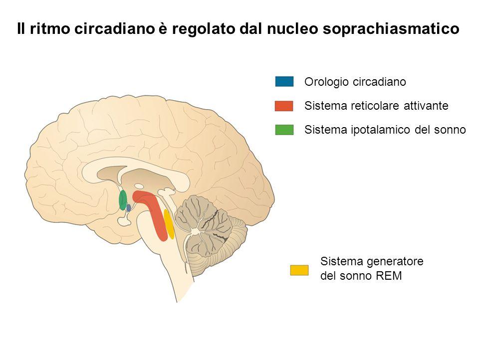 Il ritmo circadiano è regolato dal nucleo soprachiasmatico Sistema reticolare attivante Sistema ipotalamico del sonno Sistema generatore del sonno REM