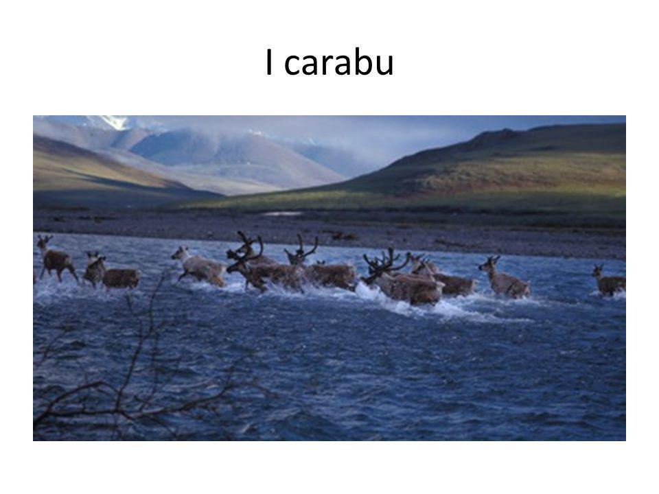 I carabu