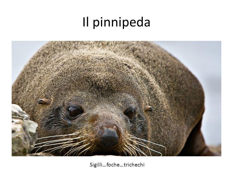 Il pinnipeda Sigilli…foche…trichechi
