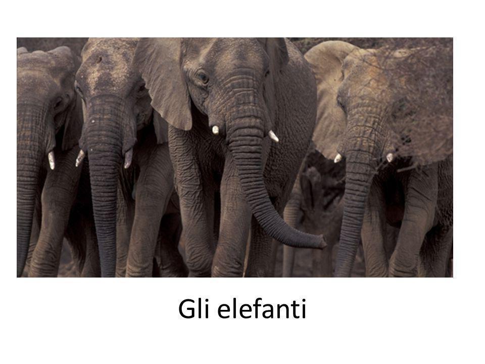 Gli elefanti