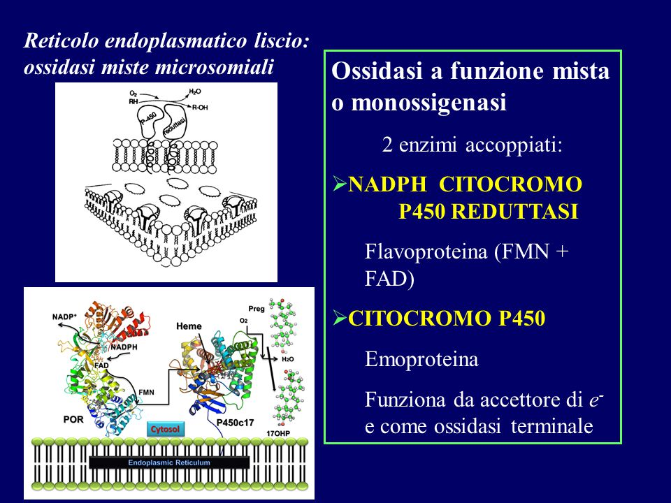 Reticolo endoplasmatico liscio: ossidasi miste microsomiali Ossidasi a funzione mista o monossigenasi 2 enzimi accoppiati:  NADPH CITOCROMO P450 REDU