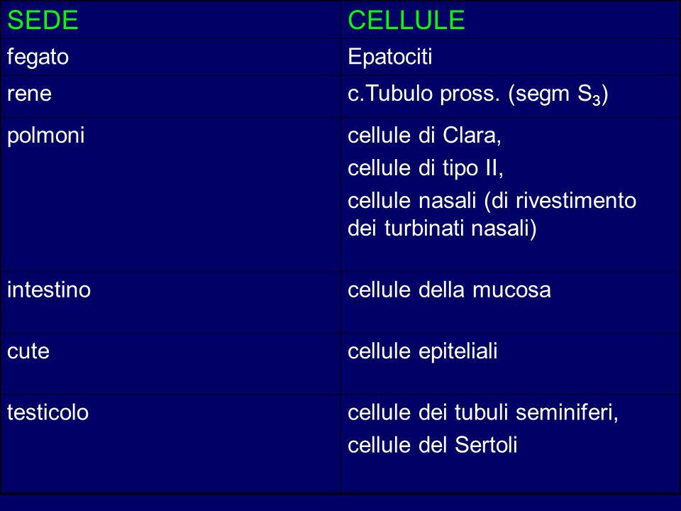 SEDECELLULE fegatoEpatociti renec.Tubulo pross. (segm S 3 ) polmonicellule di Clara, cellule di tipo II, cellule nasali (di rivestimento dei turbinati