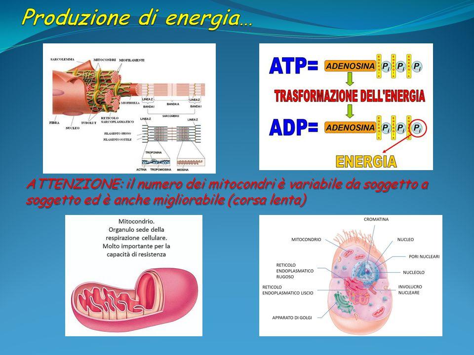 ATTENZIONE: il numero dei mitocondri è variabile da soggetto a soggetto ed è anche migliorabile (corsa lenta)