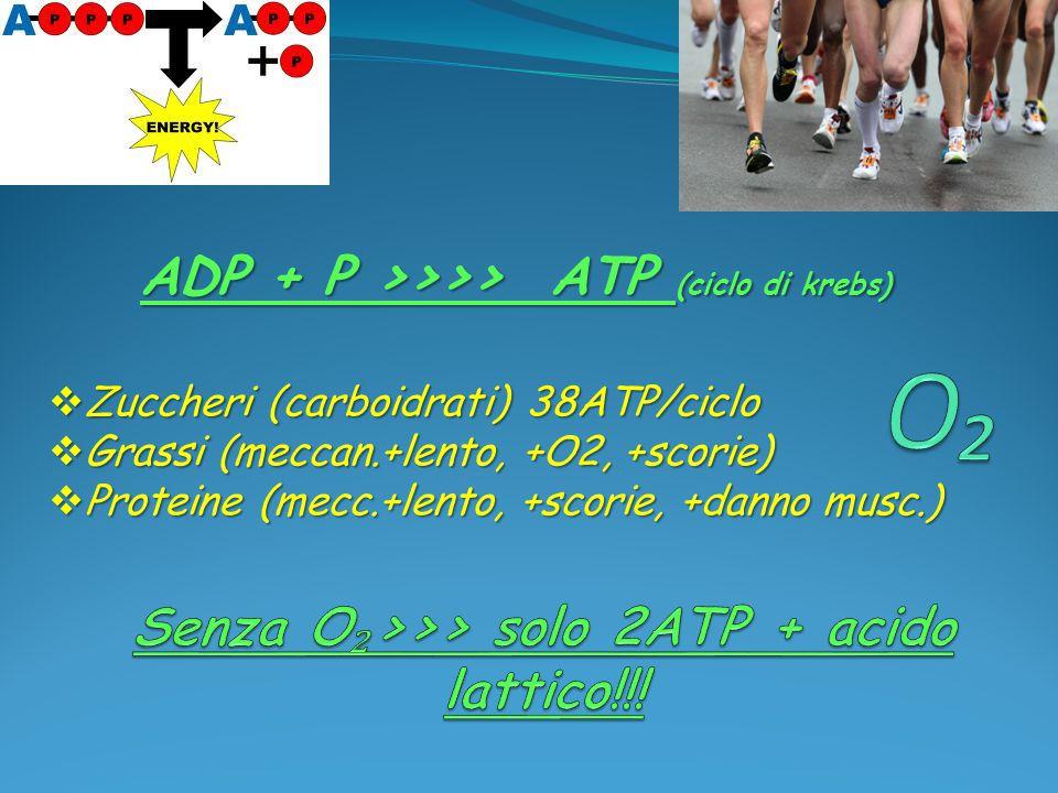  Zuccheri (carboidrati) 38ATP/ciclo  Grassi (meccan.+lento, +O2, +scorie)  Proteine (mecc.+lento, +scorie, +danno musc.) ADP + P >>>> ATP (ciclo di