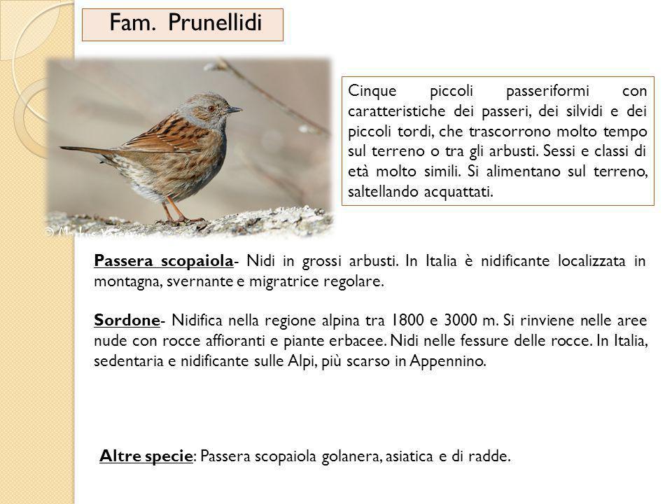 Fam. Prunellidi Cinque piccoli passeriformi con caratteristiche dei passeri, dei silvidi e dei piccoli tordi, che trascorrono molto tempo sul terreno