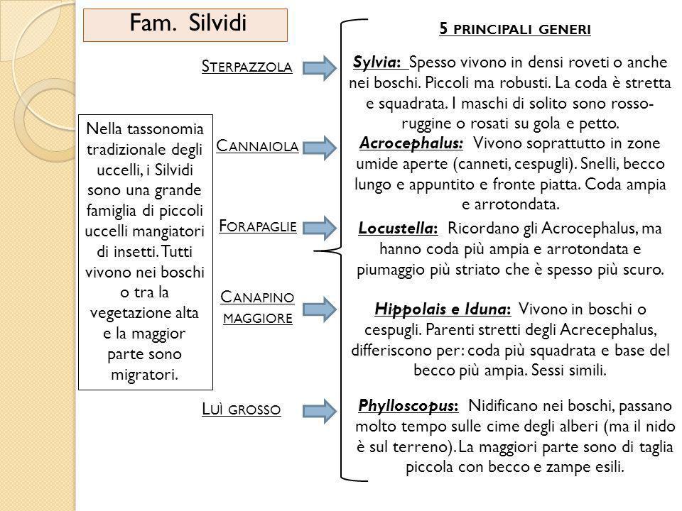 Fam. Silvidi Nella tassonomia tradizionale degli uccelli, i Silvidi sono una grande famiglia di piccoli uccelli mangiatori di insetti. Tutti vivono ne