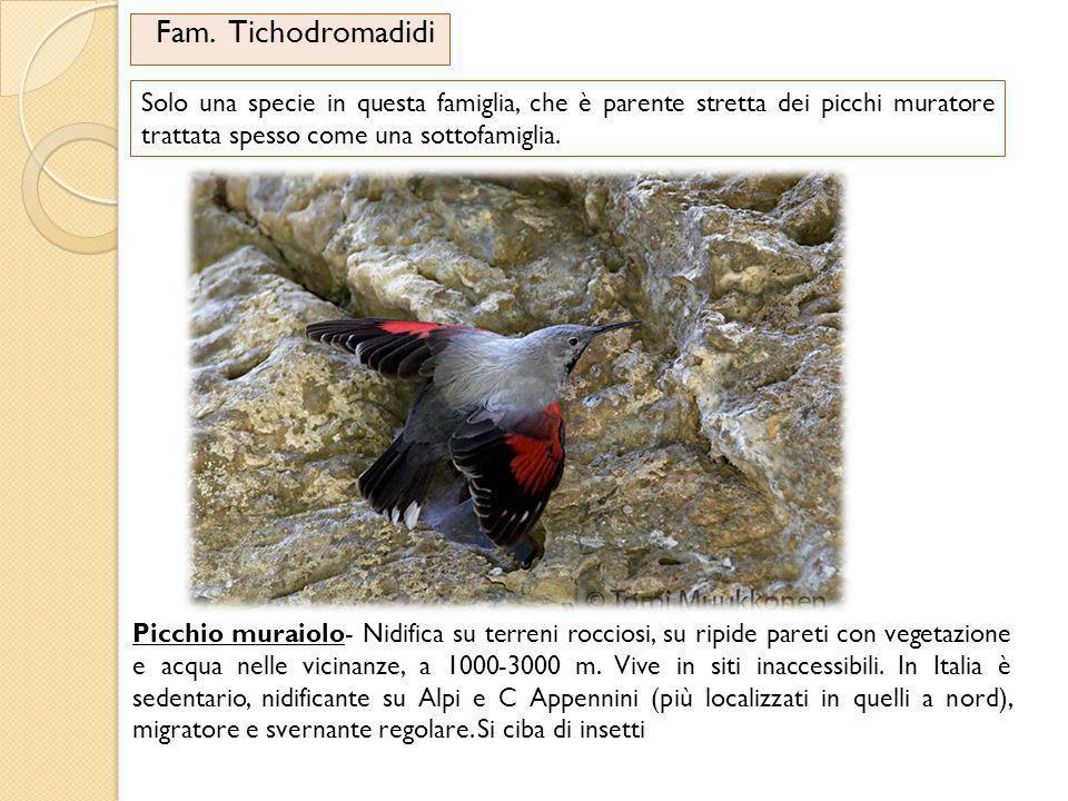 Fam. Tichodromadidi Solo una specie in questa famiglia, che è parente stretta dei picchi muratore trattata spesso come una sottofamiglia. Picchio mura