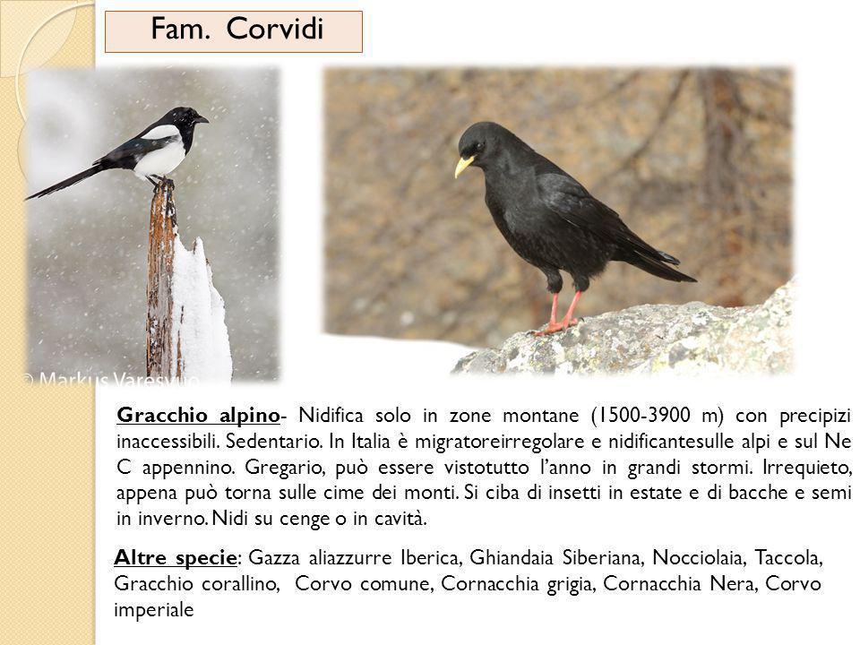 Fam. Corvidi Gracchio alpino- Nidifica solo in zone montane (1500-3900 m) con precipizi inaccessibili. Sedentario. In Italia è migratoreirregolare e n