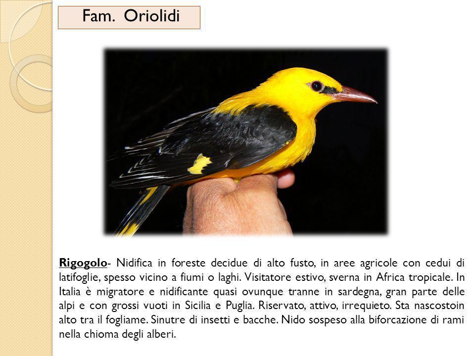 Fam. Oriolidi Rigogolo- Nidifica in foreste decidue di alto fusto, in aree agricole con cedui di latifoglie, spesso vicino a fiumi o laghi. Visitatore