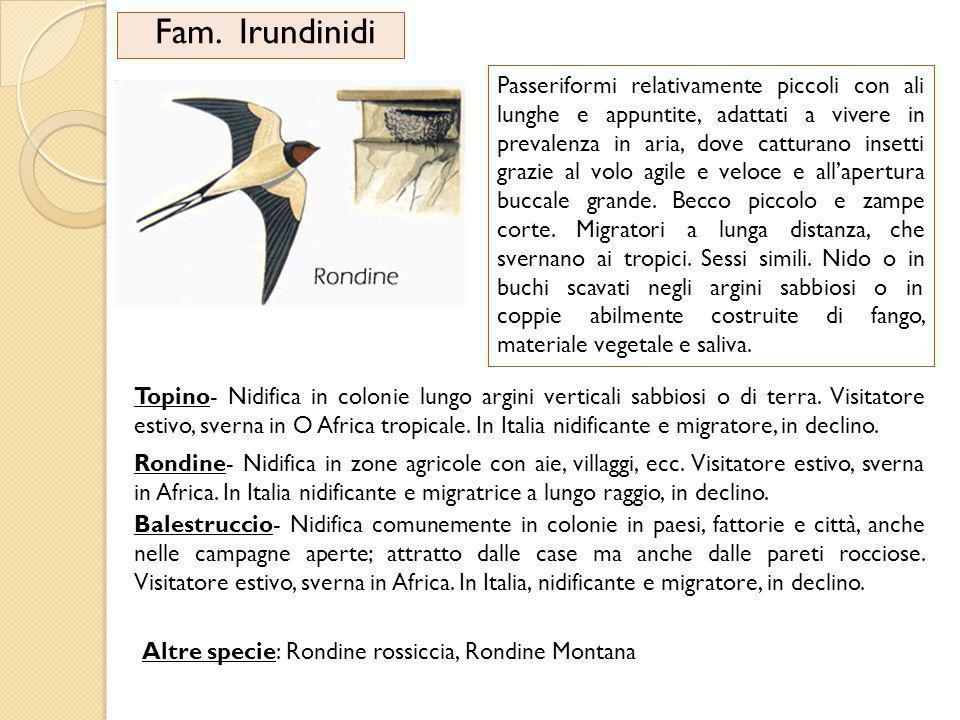 Fam. Irundinidi Passeriformi relativamente piccoli con ali lunghe e appuntite, adattati a vivere in prevalenza in aria, dove catturano insetti grazie