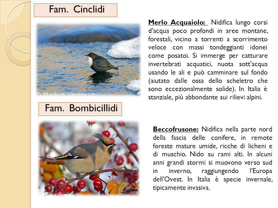 Fam.Sturnidi Quattro passeriformi di tagliamedia, compatti, con piedi corti e becco appuntito.