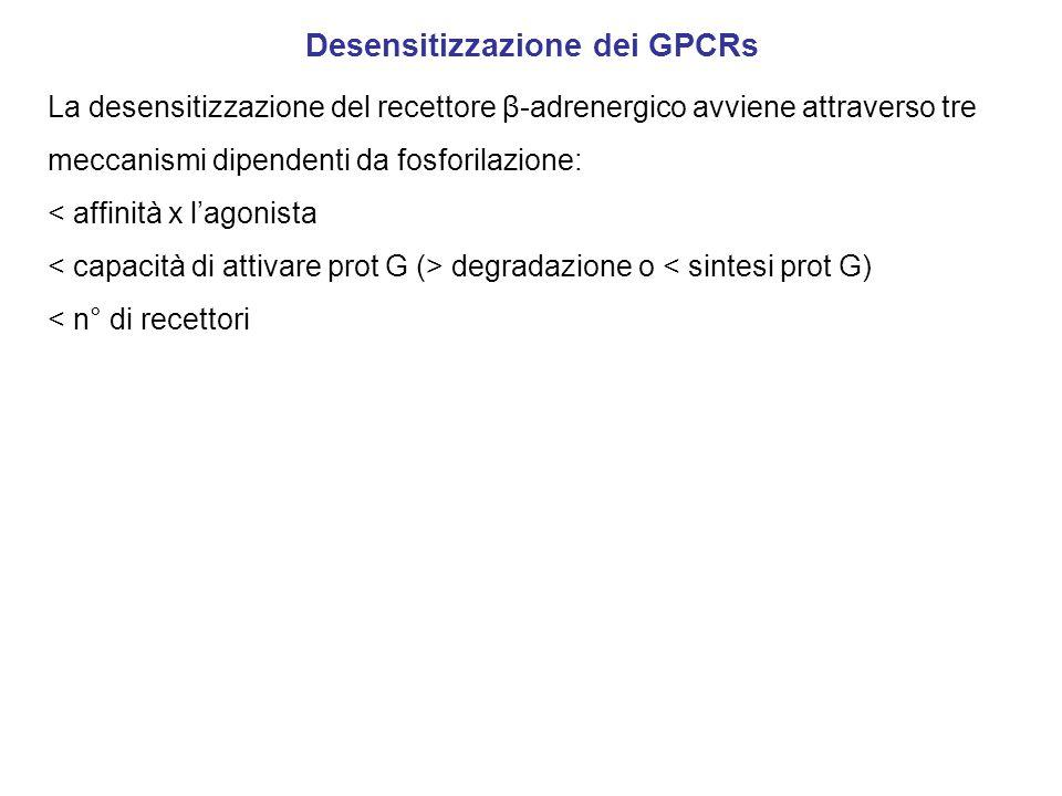 Desensitizzazione dei GPCRs La desensitizzazione del recettore β-adrenergico avviene attraverso tre meccanismi dipendenti da fosforilazione: < affinità x l'agonista degradazione o < sintesi prot G) < n° di recettori