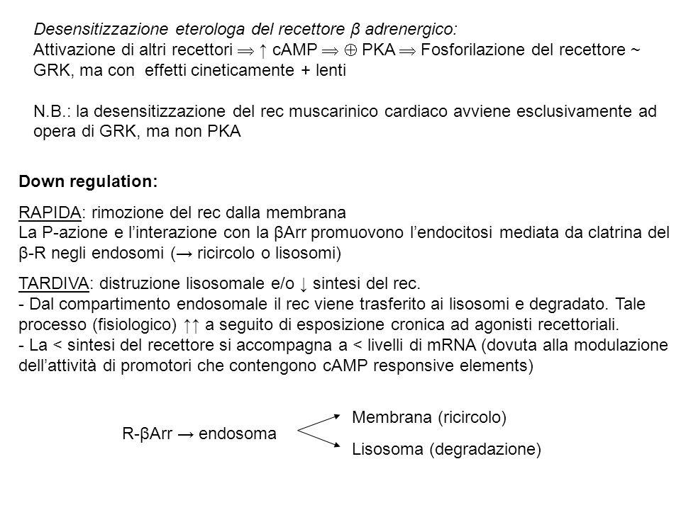 Desensitizzazione eterologa del recettore β adrenergico: Attivazione di altri recettori  ↑ cAMP   PKA  Fosforilazione del recettore ~ GRK, ma con effetti cineticamente + lenti N.B.: la desensitizzazione del rec muscarinico cardiaco avviene esclusivamente ad opera di GRK, ma non PKA Down regulation: RAPIDA: rimozione del rec dalla membrana La P-azione e l'interazione con la βArr promuovono l'endocitosi mediata da clatrina del β-R negli endosomi (→ ricircolo o lisosomi) TARDIVA: distruzione lisosomale e/o ↓ sintesi del rec.