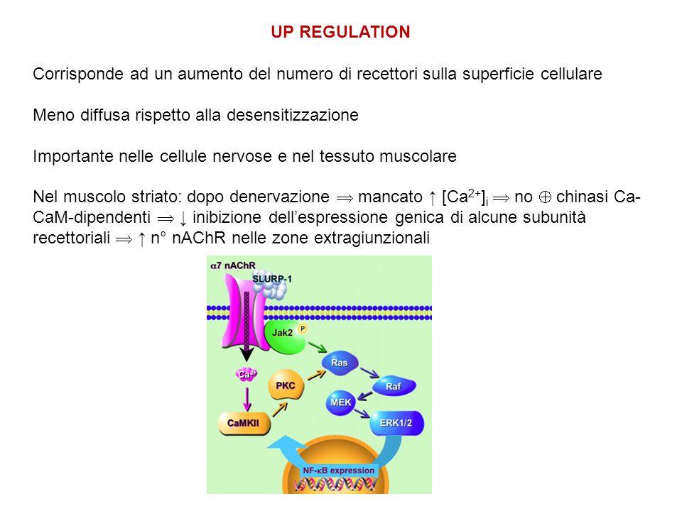 UP REGULATION Corrisponde ad un aumento del numero di recettori sulla superficie cellulare Meno diffusa rispetto alla desensitizzazione Importante nelle cellule nervose e nel tessuto muscolare Nel muscolo striato: dopo denervazione  mancato ↑ [Ca 2+ ] i  no  chinasi Ca- CaM-dipendenti  ↓ inibizione dell'espressione genica di alcune subunità recettoriali  ↑ n° nAChR nelle zone extragiunzionali
