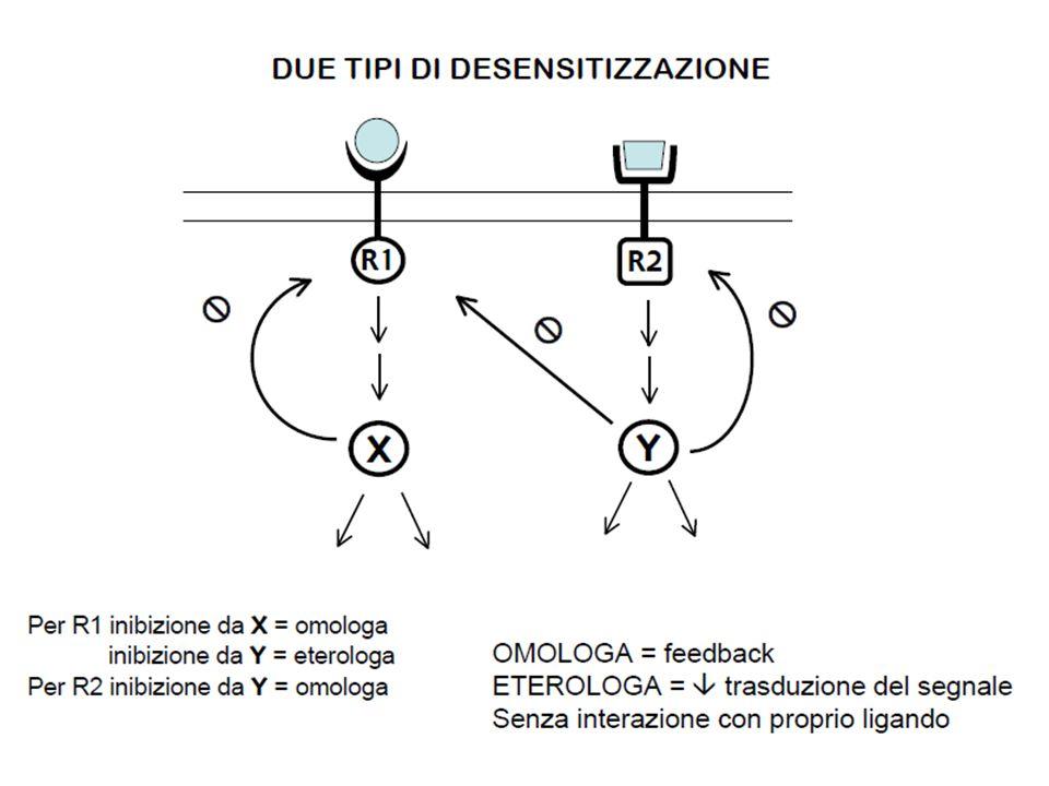 Desensitizzazione dei recettori-canale L'applicazione di agonisti produce due rapidi cambiamenti nella macromolecola recettoriale: 1) R → A: Legame dell'agonista  transizione conformazionale  apertura del canale (in ~1 msec) 2) A → D: Transizione del rec nello stato desensitizzato → il canale rimane chiuso nonostante l'affinità x l'agonista ↑ notevolmente La desensitizzazione equivale ad una riduzione della capacità di andare incontro al cambio conformazionale necessario per produrre l'apertura del canale.