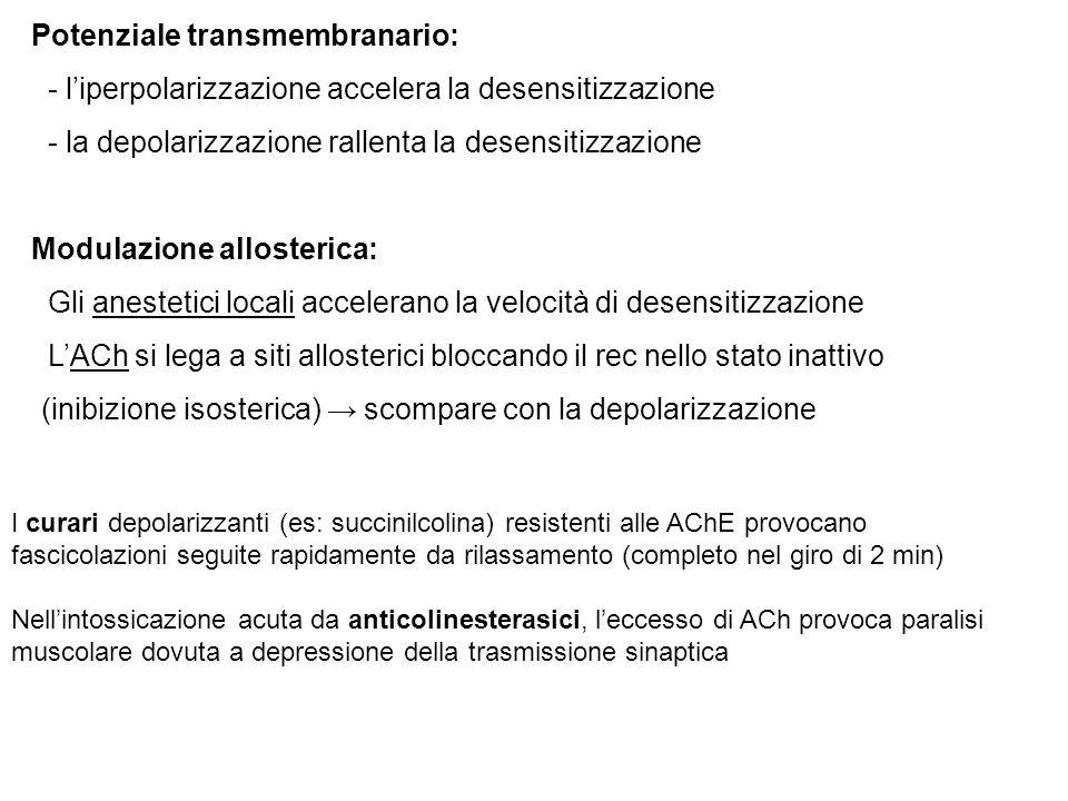 Potenziale transmembranario: - l'iperpolarizzazione accelera la desensitizzazione - la depolarizzazione rallenta la desensitizzazione Modulazione allosterica: Gli anestetici locali accelerano la velocità di desensitizzazione L'ACh si lega a siti allosterici bloccando il rec nello stato inattivo (inibizione isosterica) → scompare con la depolarizzazione I curari depolarizzanti (es: succinilcolina) resistenti alle AChE provocano fascicolazioni seguite rapidamente da rilassamento (completo nel giro di 2 min) Nell'intossicazione acuta da anticolinesterasici, l'eccesso di ACh provoca paralisi muscolare dovuta a depressione della trasmissione sinaptica