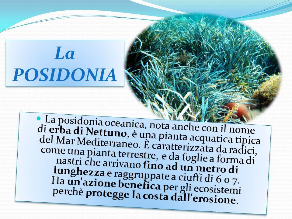 La POSIDONIA La posidonia oceanica, nota anche con il nome di erba di Nettuno, è una pianta acquatica tipica del Mar Mediterraneo.