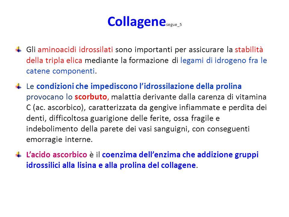 Collagene segue_5 Gli aminoacidi idrossilati sono importanti per assicurare la stabilità della tripla elica mediante la formazione di legami di idroge