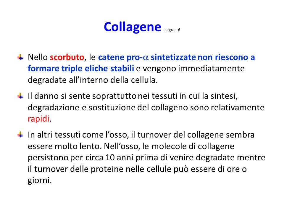 Collagene segue_6 Nello scorbuto, le catene pro-  sintetizzate non riescono a formare triple eliche stabili e vengono immediatamente degradate all'in