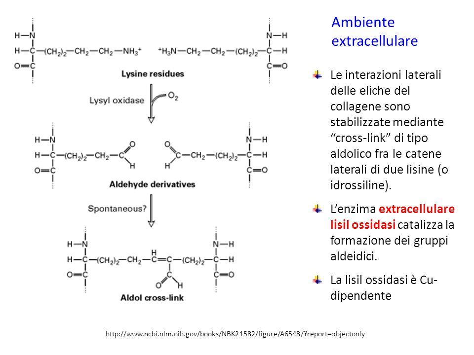 http://www.ncbi.nlm.nih.gov/books/NBK21582/figure/A6548/?report=objectonly Le interazioni laterali delle eliche del collagene sono stabilizzate median