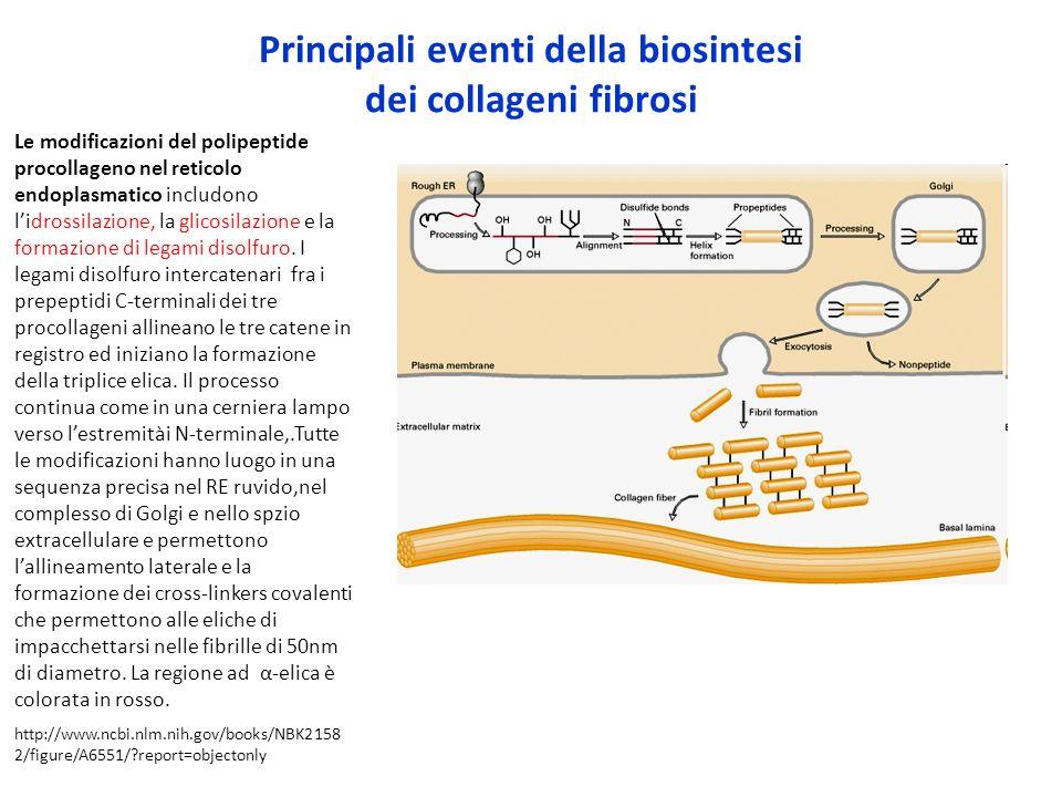 Principali eventi della biosintesi dei collageni fibrosi Le modificazioni del polipeptide procollageno nel reticolo endoplasmatico includono l'idrossi