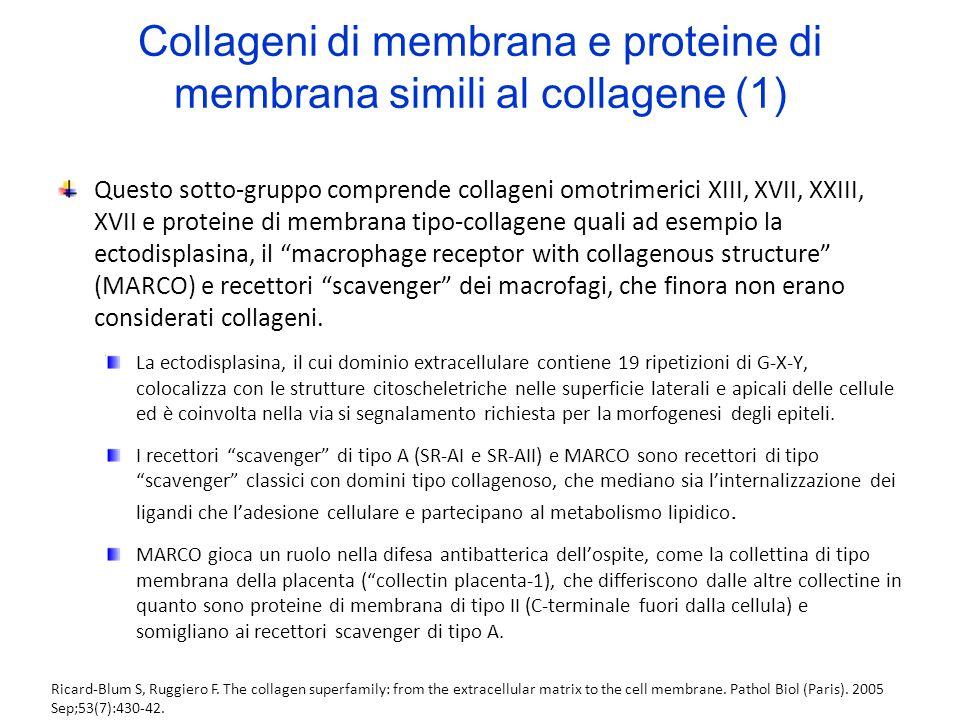 Collageni di membrana e proteine di membrana simili al collagene (1) Questo sotto-gruppo comprende collageni omotrimerici XIII, XVII, XXIII, XVII e pr