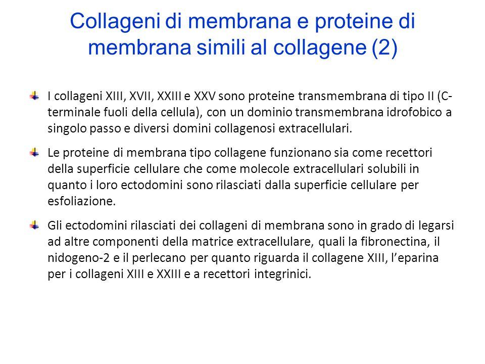 Collageni di membrana e proteine di membrana simili al collagene (2) I collageni XIII, XVII, XXIII e XXV sono proteine transmembrana di tipo II (C- te