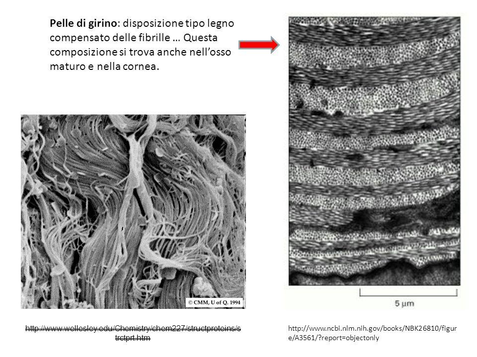 http://www.wellesley.edu/Chemistry/chem227/structproteins/s trctprt.htm Pelle di girino: disposizione tipo legno compensato delle fibrille … Questa co