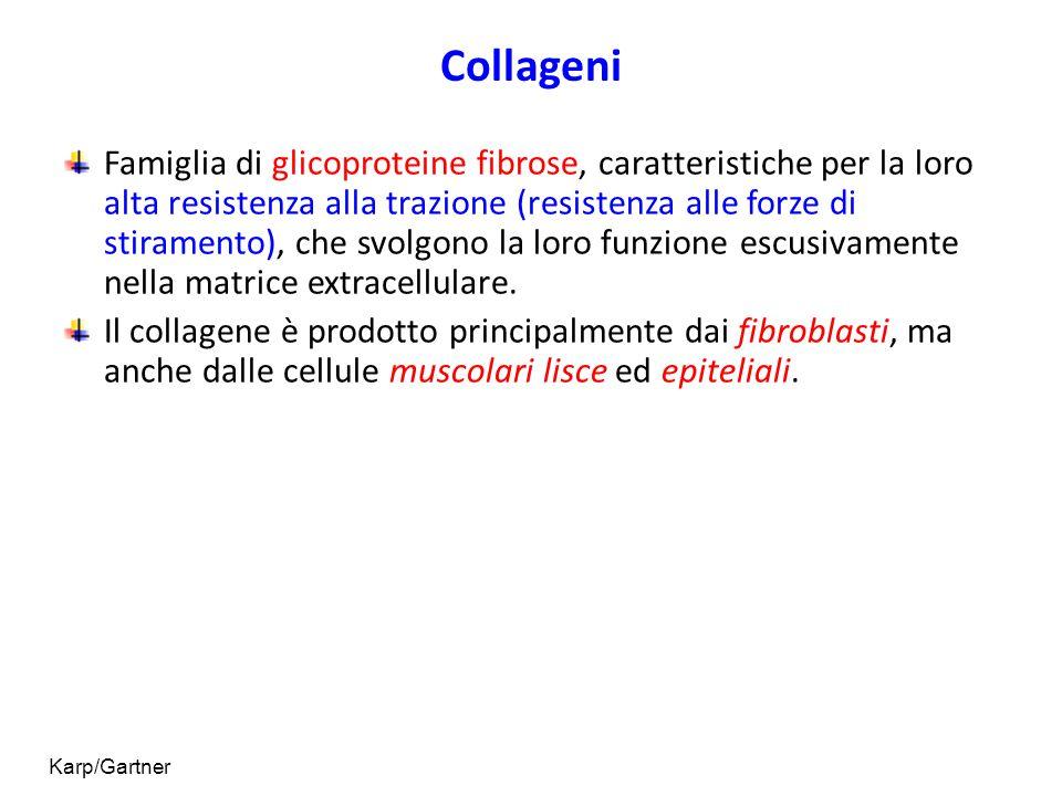 Collageni Famiglia di glicoproteine fibrose, caratteristiche per la loro alta resistenza alla trazione (resistenza alle forze di stiramento), che svol