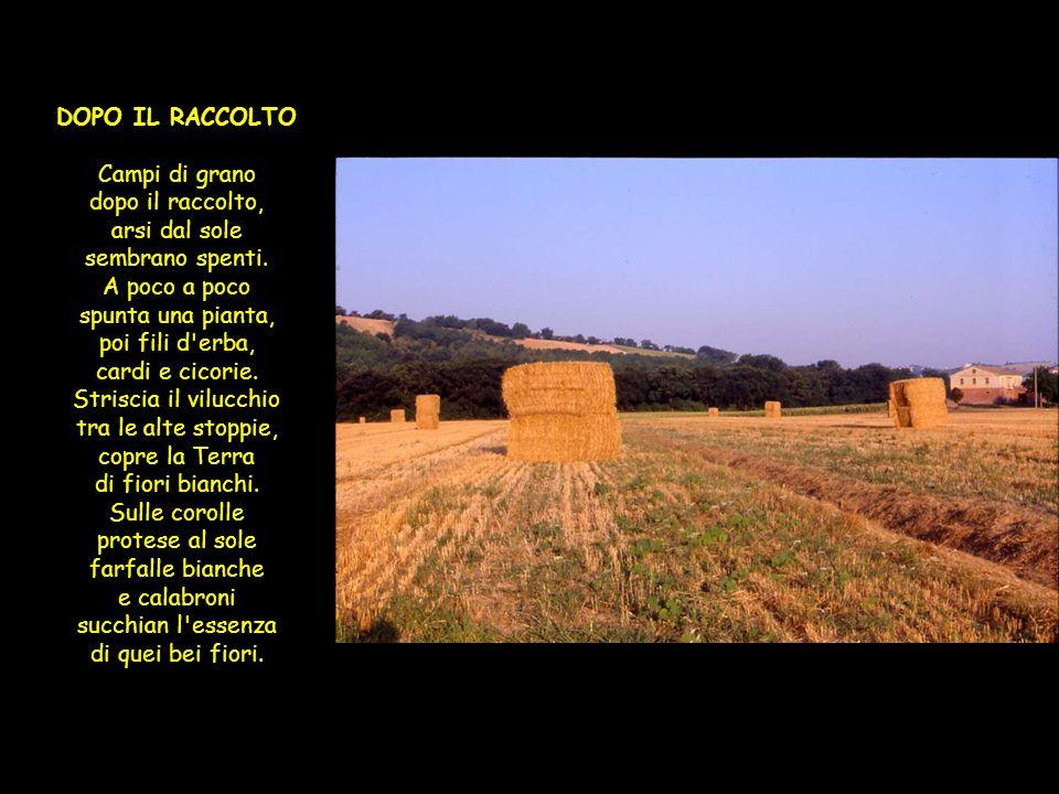 Campi di grano DOPO IL RACCOLTO Campi di grano dopo il raccolto, arsi dal sole sembrano spenti.