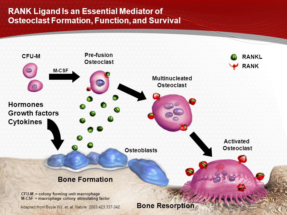 RANK Ligand Is an Essential Mediator of Osteoclast Formation, Function, and Survival Osteoblasts Activated Osteoclast CFU-M Pre-fusion Osteoclast Mult