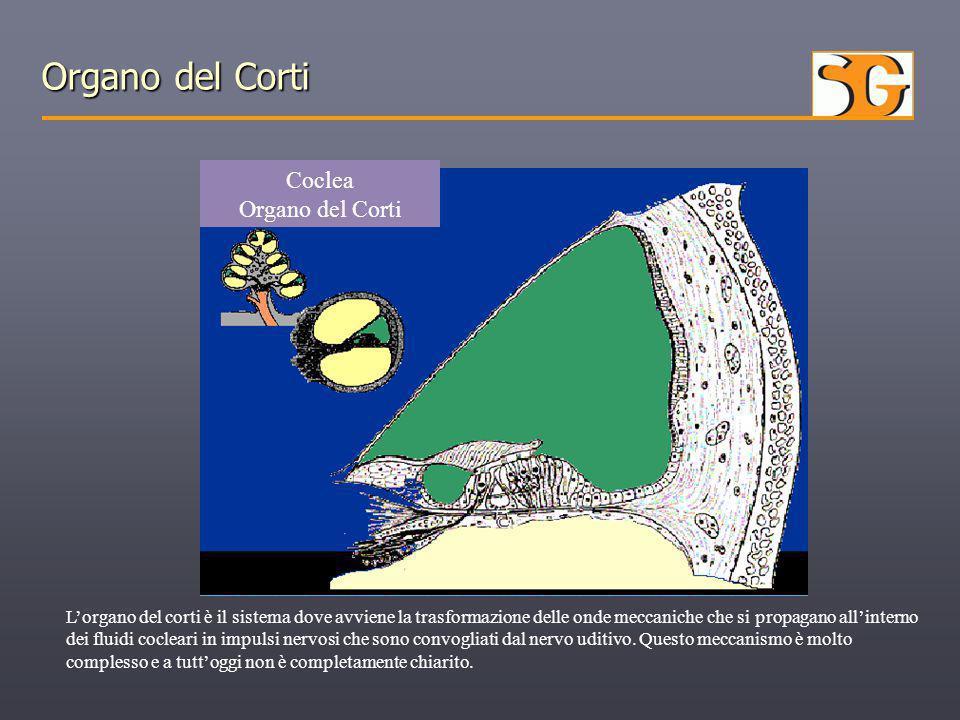 Organo del Corti L'organo del corti è il sistema dove avviene la trasformazione delle onde meccaniche che si propagano all'interno dei fluidi cocleari