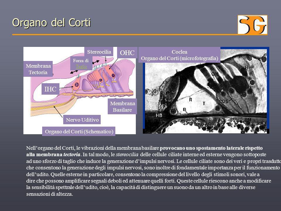 Coclea Organo del Corti (microfotografia) Organo del Corti (Schematico) Membrana Basilare Nervo Uditivo Membrana Tectoria IHC OHC Stereocilia Forza di