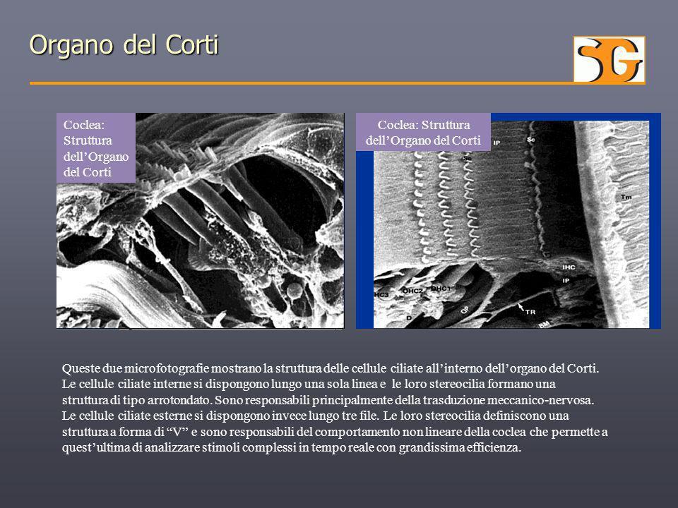 Organo del Corti Coclea: Struttura dell'Organo del Corti Coclea: Struttura dell'Organo del Corti Queste due microfotografie mostrano la struttura dell