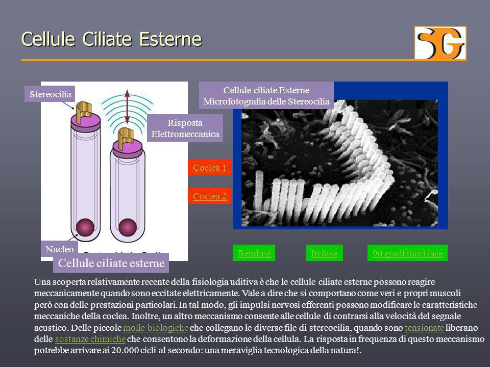 Cellule Ciliate Esterne Cellule ciliate Esterne Microfotografia delle Stereocilia Cellule ciliate esterne Nucleo Stereocilia Risposta Elettromeccanica