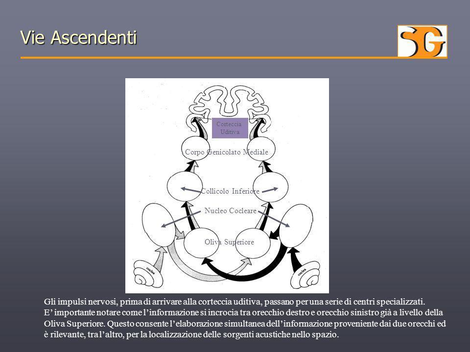 Vie Ascendenti Corteccia Uditiva Corpo Genicolato Mediale Collicolo Inferiore Nucleo Cocleare Oliva Superiore Gli impulsi nervosi, prima di arrivare a