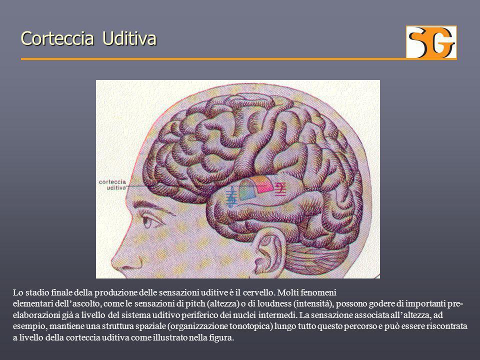 Corteccia Uditiva Lo stadio finale della produzione delle sensazioni uditive è il cervello. Molti fenomeni elementari dell'ascolto, come le sensazioni