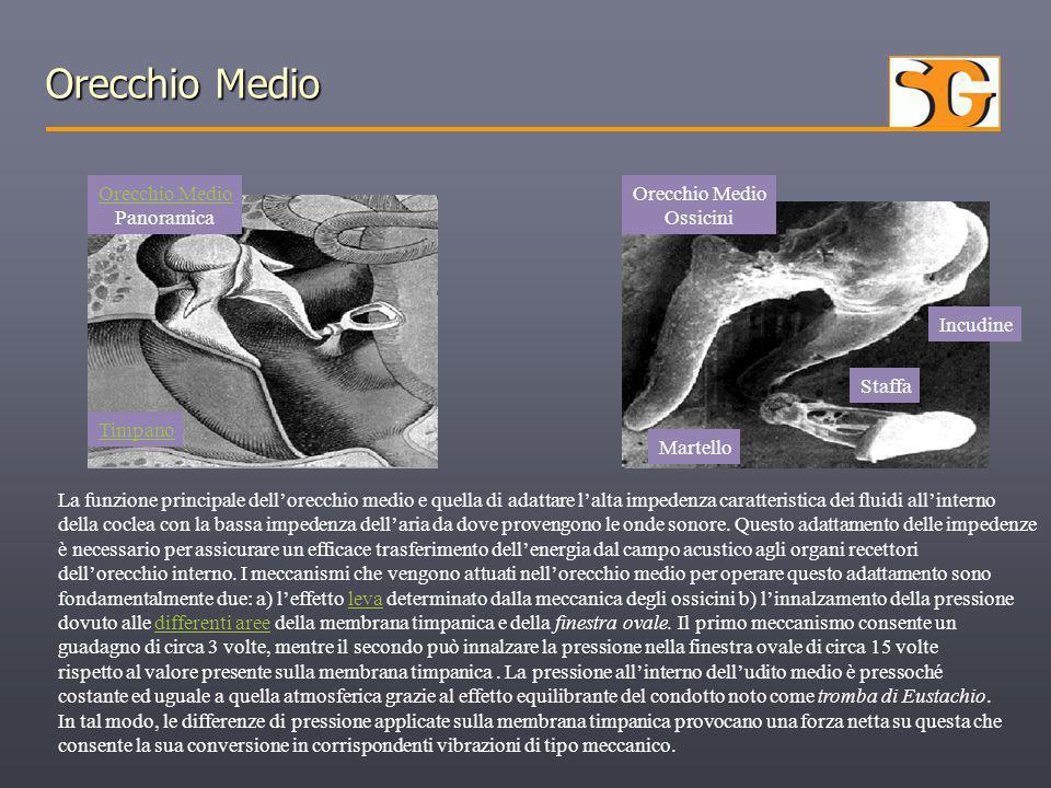 Orecchio Medio Panoramica Orecchio Medio Ossicini Martello Incudine Staffa Timpano La funzione principale dell'orecchio medio e quella di adattare l'a