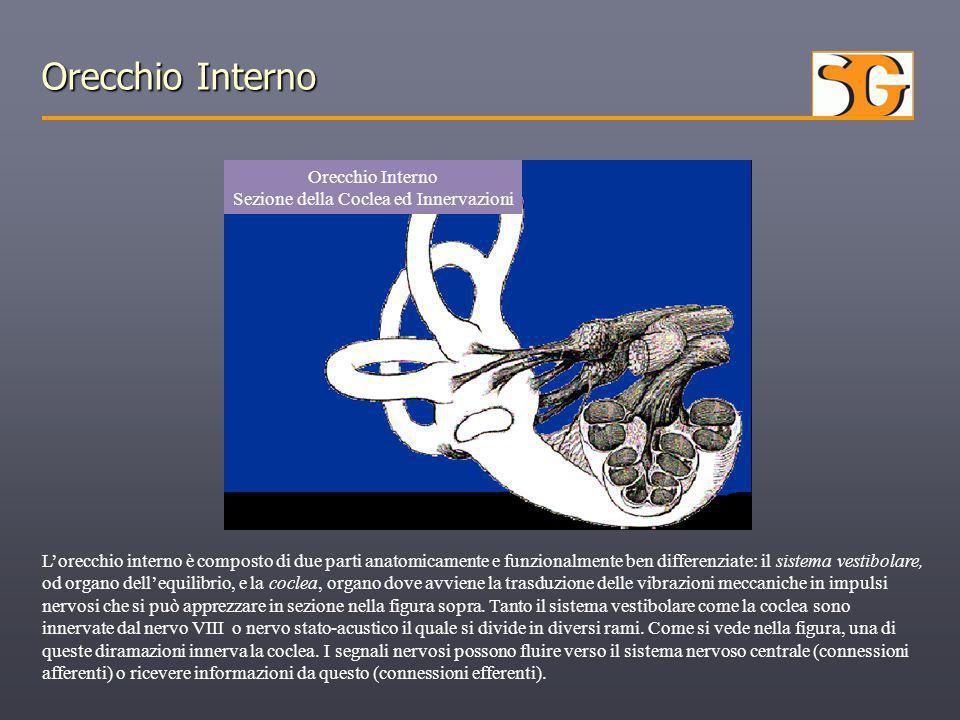 Orecchio Interno Sezione della Coclea ed Innervazioni L'orecchio interno è composto di due parti anatomicamente e funzionalmente ben differenziate: il