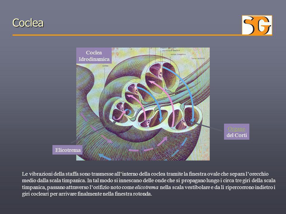 Coclea Coclea Idrodinamica Le vibrazioni della staffa sono trasmesse all'interno della coclea tramite la finestra ovale che separa l'orecchio medio da