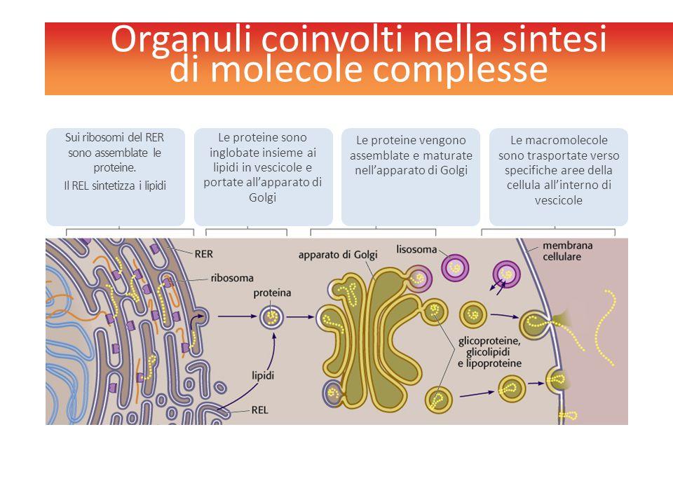 Organuli coinvolti nella sintesi di molecole complesse Le proteine sono inglobate insieme ai lipidi in vescicole e portate all'apparato di Golgi Le pr