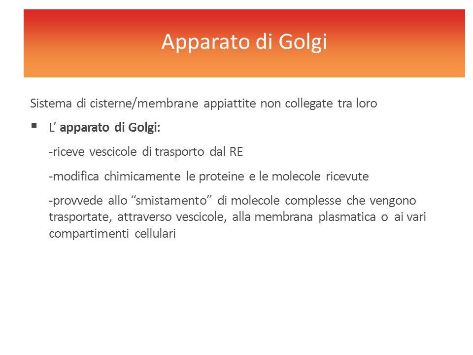 Sistema di cisterne/membrane appiattite non collegate tra loro  L' apparato di Golgi: -riceve vescicole di trasporto dal RE -modifica chimicamente le
