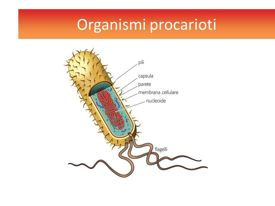  Sono costituiti prevalentemente da batteri  Possono presentare flagelli con funzione locomotoriaflagelli  Possono avere pili per aderire ad altre cellule  Si riproducono per via asessuata Organismi procarioti