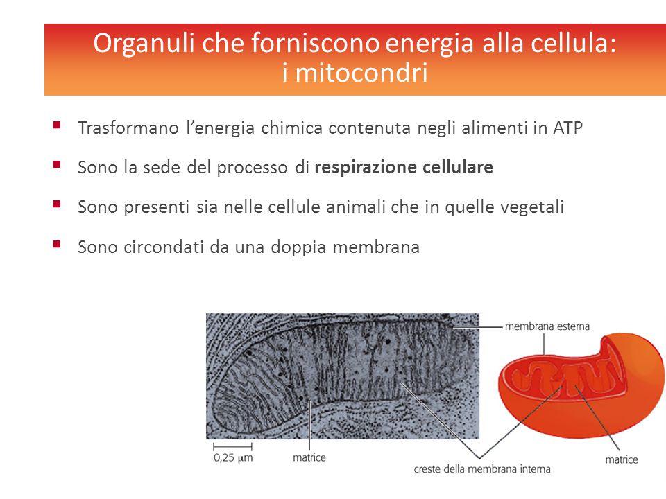 Organuli che forniscono energia alla cellula: i mitocondri  Trasformano l'energia chimica contenuta negli alimenti in ATP  Sono la sede del processo