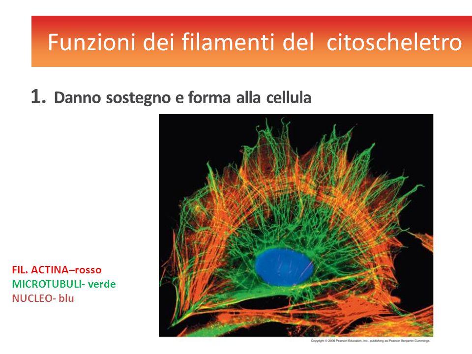 1. Danno sostegno e forma alla cellula Funzioni dei filamenti del citoscheletro FIL. ACTINA–rosso MICROTUBULI- verde NUCLEO- blu