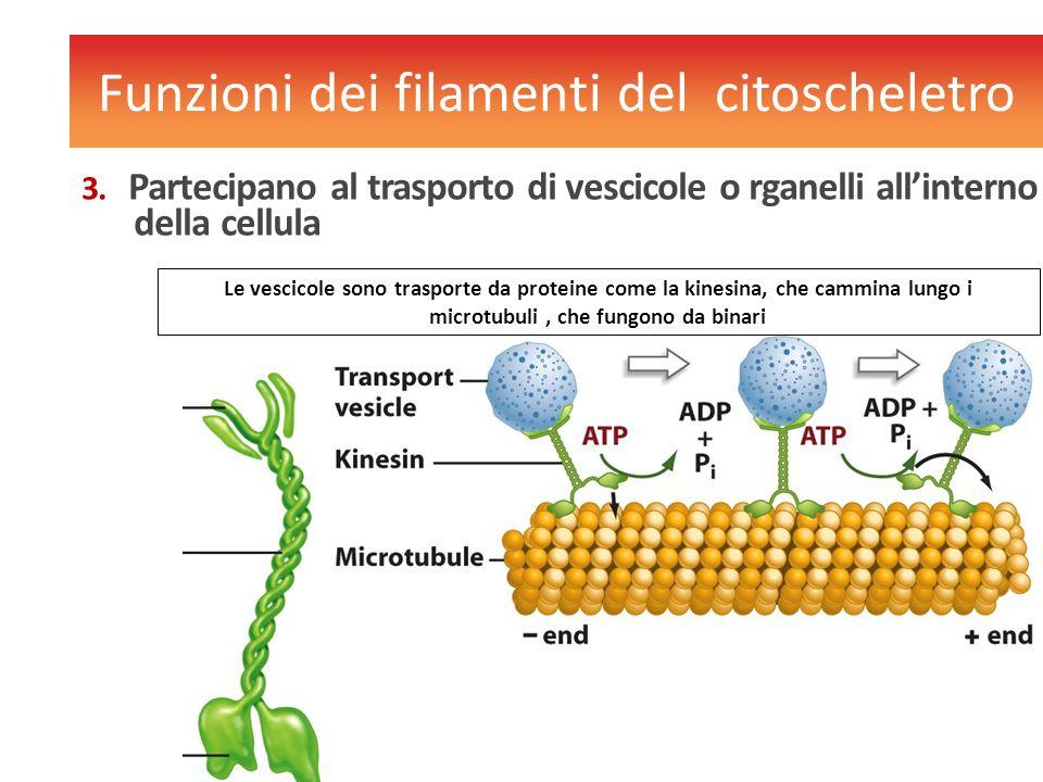 3. Partecipano al trasporto di vescicole o rganelli all'interno della cellula Le vescicole sono trasporte da proteine come la kinesina, che cammina lu