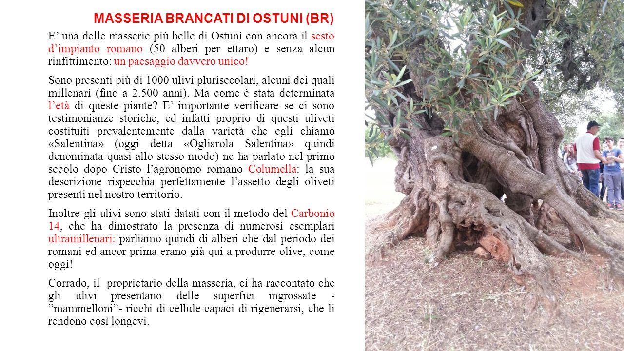 MASSERIA BRANCATI DI OSTUNI (BR) E' una delle masserie più belle di Ostuni con ancora il sesto d'impianto romano (50 alberi per ettaro) e senza alcun